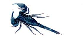 Skorpion na biały tle. Fotografia Royalty Free