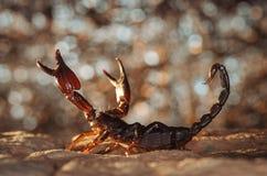 Skorpion ochraniający fotografia stock