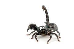 Skorpion - odizolowywający na bielu Zdjęcia Royalty Free
