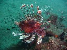 Skorpion ryba, Papua Zdjęcie Royalty Free