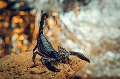 Skorpion w walczącej postawie Fotografia Stock