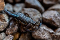 Skorpion walking on rocks royalty free stock image