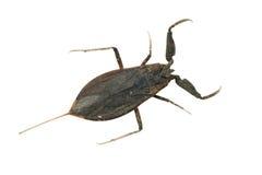 skorpion woda