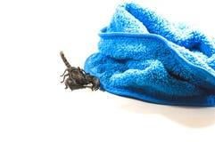 Skorpion, z atakiem zdjęcia royalty free