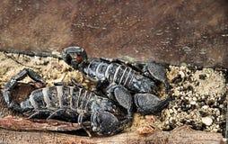 Skorpione stockfotografie