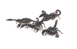 Skorpione Lizenzfreie Stockfotografie