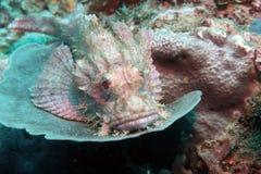 Skorpionfisk rosa undervattens- 1 royaltyfri foto