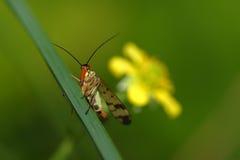 Skorpionfluga Royaltyfri Bild