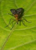 Skorpionfluga Royaltyfri Foto