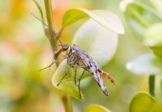 Skorpionfluga Royaltyfri Fotografi