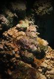 Skorpions-Fischfell über dem Riff lizenzfreie stockfotografie
