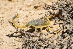 Skorpionu deathstalker Leiurus quinquestriatus Fotografia Royalty Free