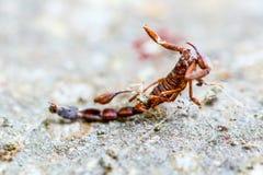 Skorpionu insekt Łapiący W A pająk sieć Zdjęcie Royalty Free