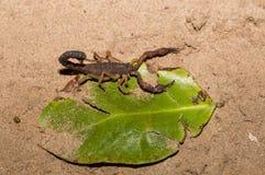 Skorpiony, drapieżczy pajęczaki Madagascar fotografia stock