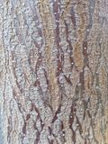 Skorupa paulovnia drzewo Obrazy Stock