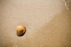 skorupa plażowa zdjęcie royalty free