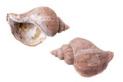 Skorupy małże, pusta szorstka rzucająca kipiel Zdjęcia Stock