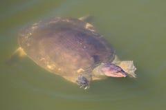 skorupy miękkiej części żółw Fotografia Royalty Free