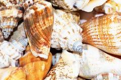 Skorupy od plaży Fotografia Royalty Free