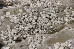 Skorupy wieszają na skale na plażowym (Francja) zdjęcia stock