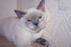 Skotsk blåögd pott Royaltyfri Foto