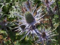 Skotsk blomma för tistel Royaltyfria Bilder