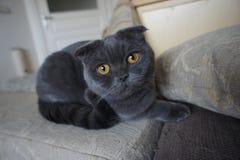 Skotsk grå katt Arkivbilder