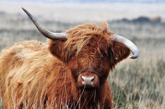 Skotsk höglands- ko med wonky horms royaltyfri fotografi