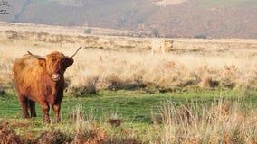 Skotsk höglands- ko som bor på hedland som står dess jordning royaltyfria bilder