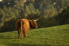 Skotsk höglands- kotjur i fält fotografering för bildbyråer