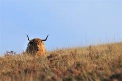 Skotsk h?glands- ko som bor p? hedland som blandar in i dess omgivning royaltyfri bild