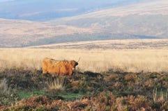 Skotsk h?glands- ko som bor p? hedland som blandar in i dess omgivning arkivfoto