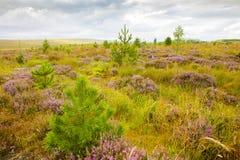 Skotsk hed i Skotska högländerna royaltyfria bilder