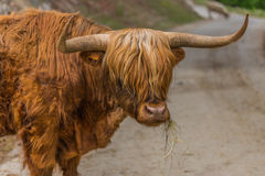 Skotsk Highlander Royaltyfri Bild