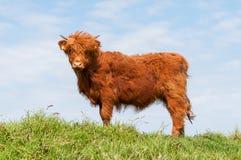 Skotsk Highlander Arkivfoto