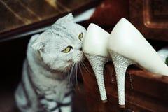 Skotsk katt och härliga kvinnors skor Royaltyfria Bilder