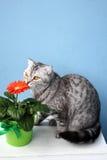 Skotsk katt och röd blomma Arkivbilder