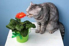 Skotsk katt som luktar en blomma Arkivfoton