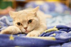 Skotsk katt som vilar på en blå filt Arkivfoto