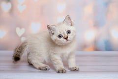 Skotsk kattunge av ljus färg royaltyfri foto