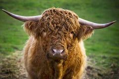 Skotsk ko fotografering för bildbyråer