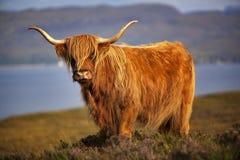 Skotsk ko II arkivbild