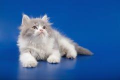 Skotsk rak avel för kattunge Arkivbilder