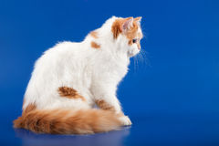 Skotsk rak avel för kattunge Arkivbild