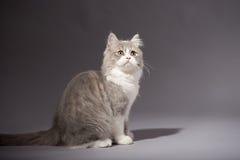 Skotsk rak avel för kattunge Royaltyfri Bild