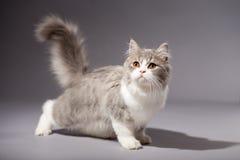 Skotsk rak avel för kattunge Fotografering för Bildbyråer