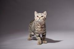 Skotsk rak avel för kattunge Royaltyfri Foto