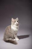Skotsk rak avel för kattunge Royaltyfria Foton