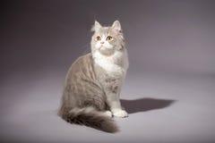 Skotsk rak avel för kattunge Royaltyfria Bilder