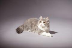Skotsk rak avel för kattunge Arkivfoton